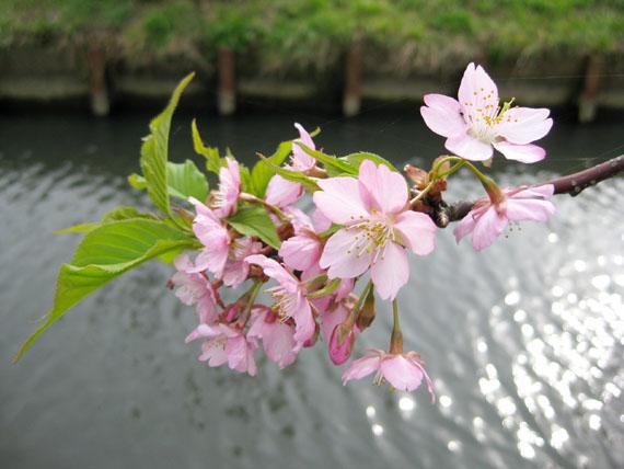 桜2015-05