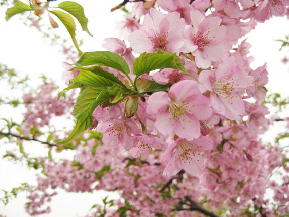 桜2015-03