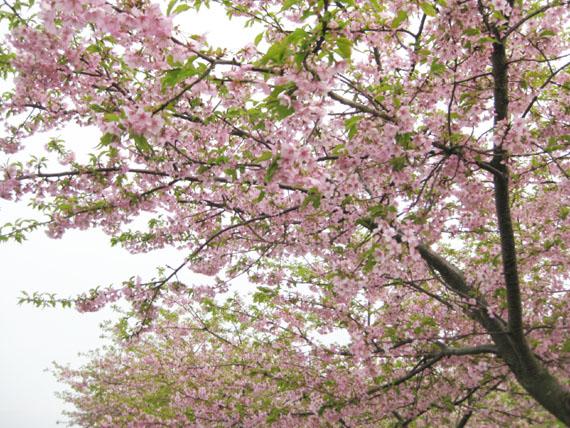 桜2015-01