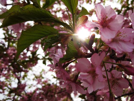桜2015-06