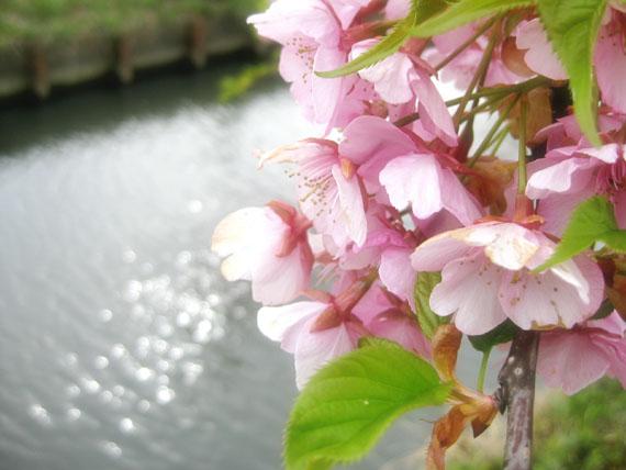 桜2015-07