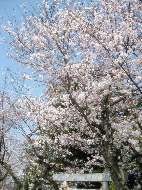 桜2015-08
