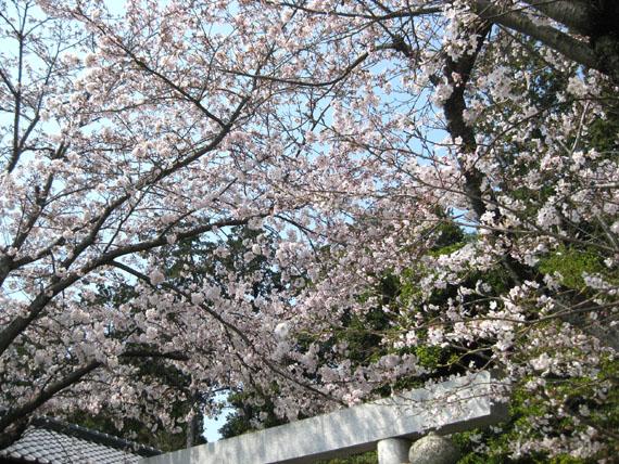 桜2015-09
