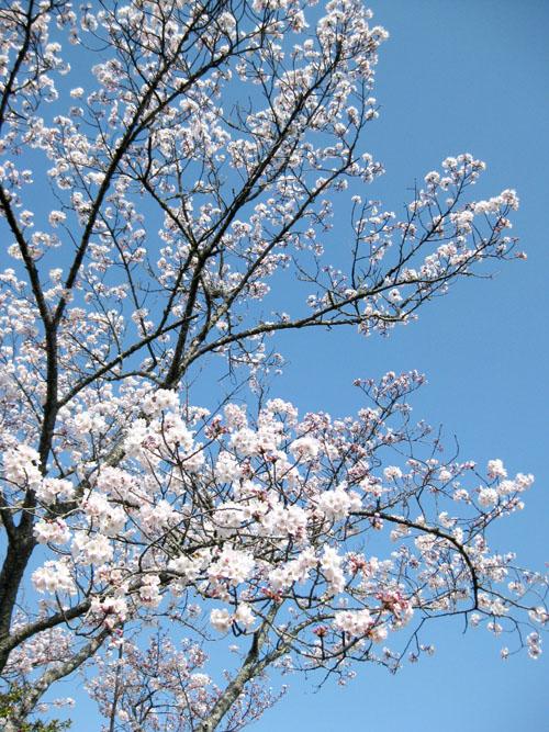 桜2015-10