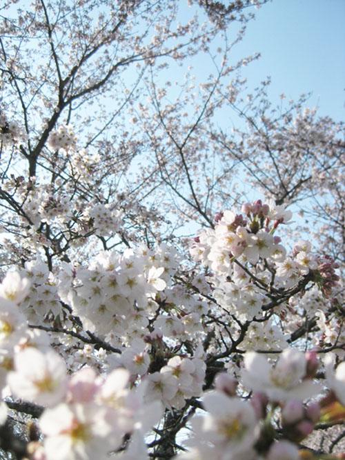 桜2016-10