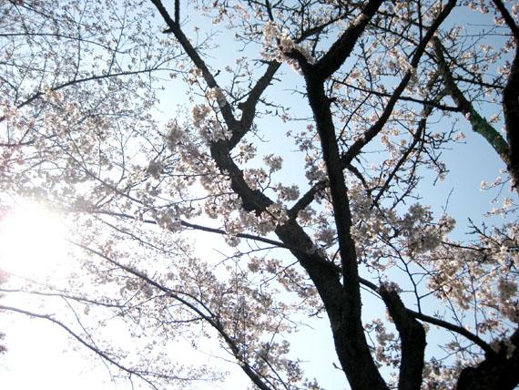 桜2016-11