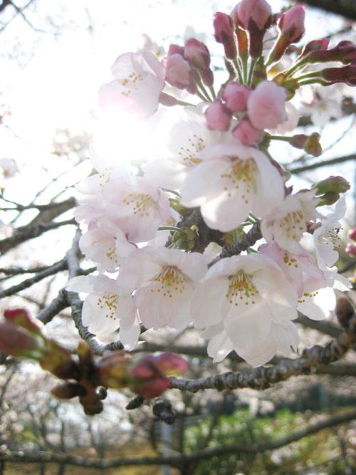 桜2016-13