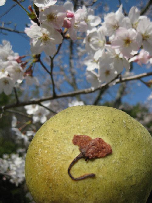 桜2016-14