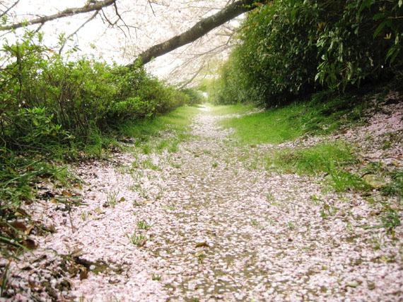 桜2016-17