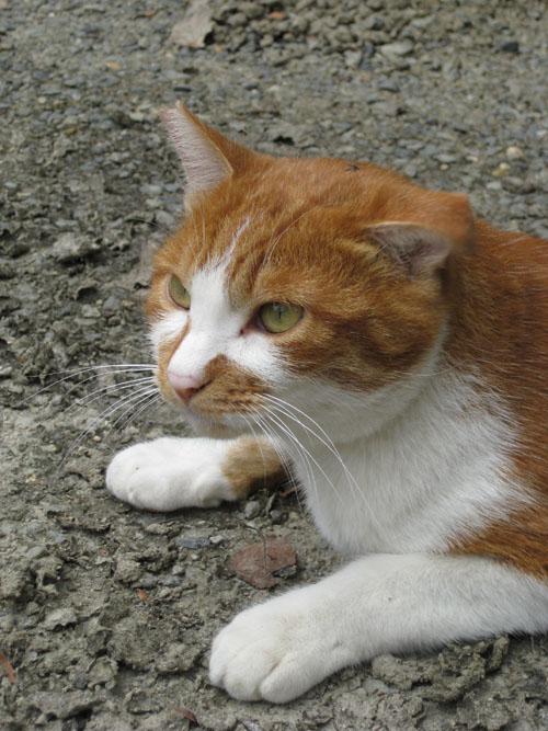 石清水八幡宮の猫と走井餅17