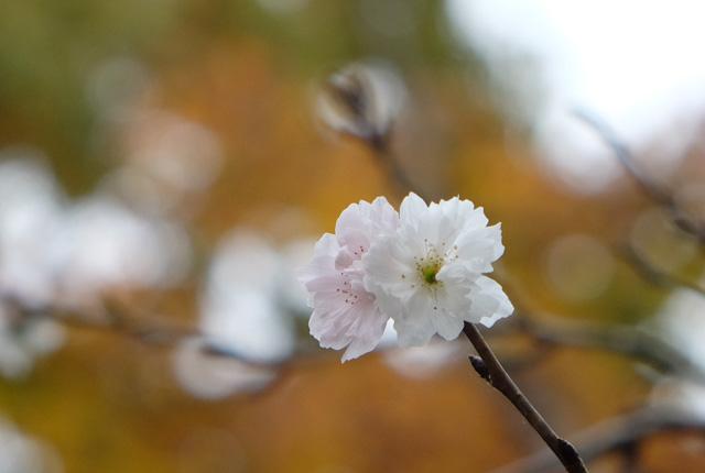0476 十月桜 640×430