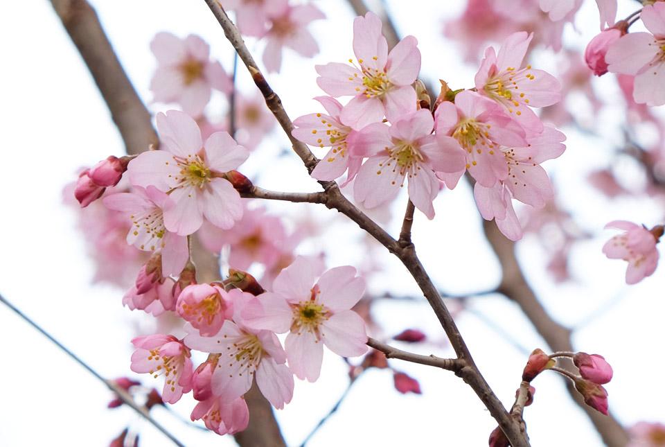 4400 ご近所の桜2 960×645