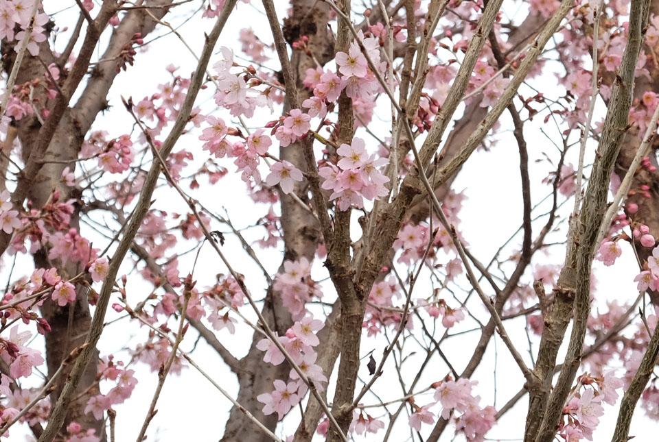 4405 ご近所の桜 960×645