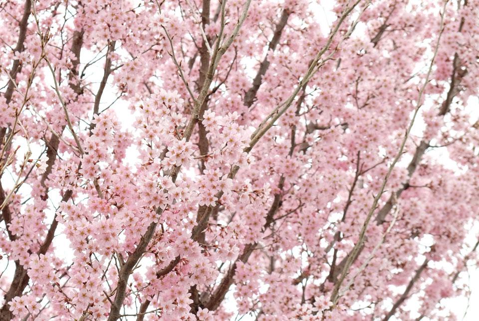 4508 ご近所の桜 960×645