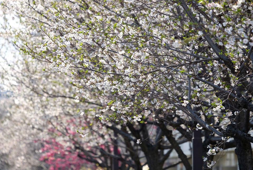 4723 十月桜 960×645