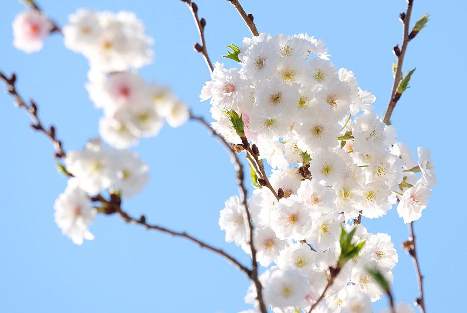 4726 十月桜 960×645