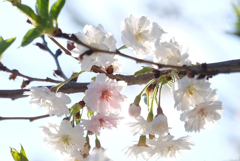 4754 十月桜 960×645