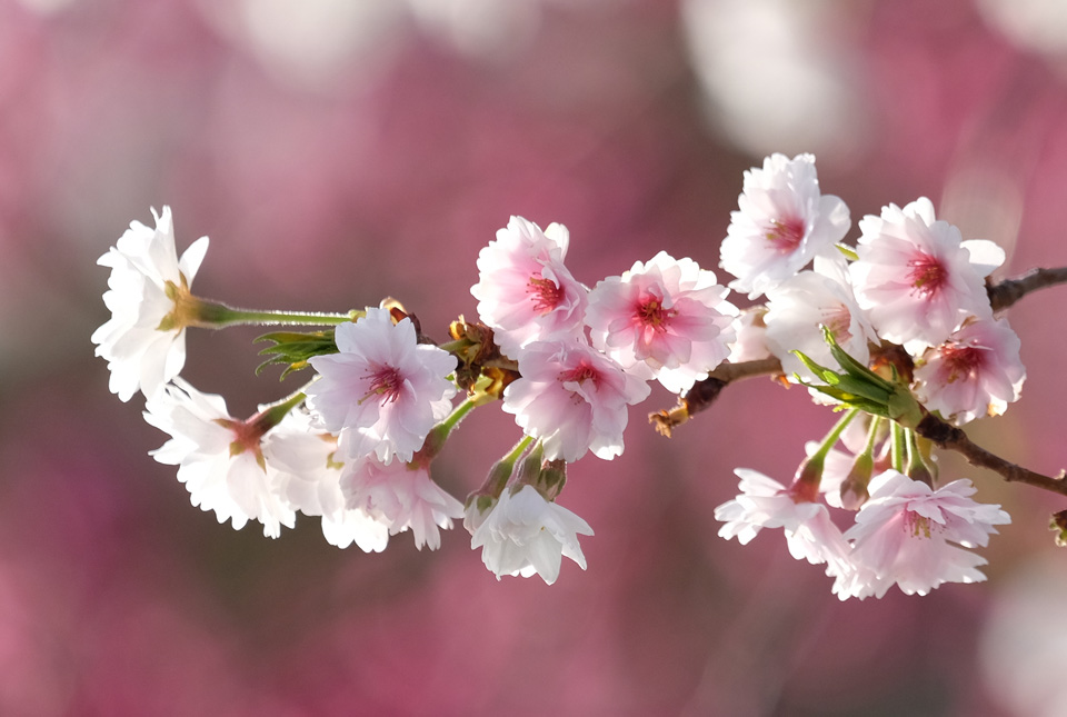 4771 十月桜 960×645