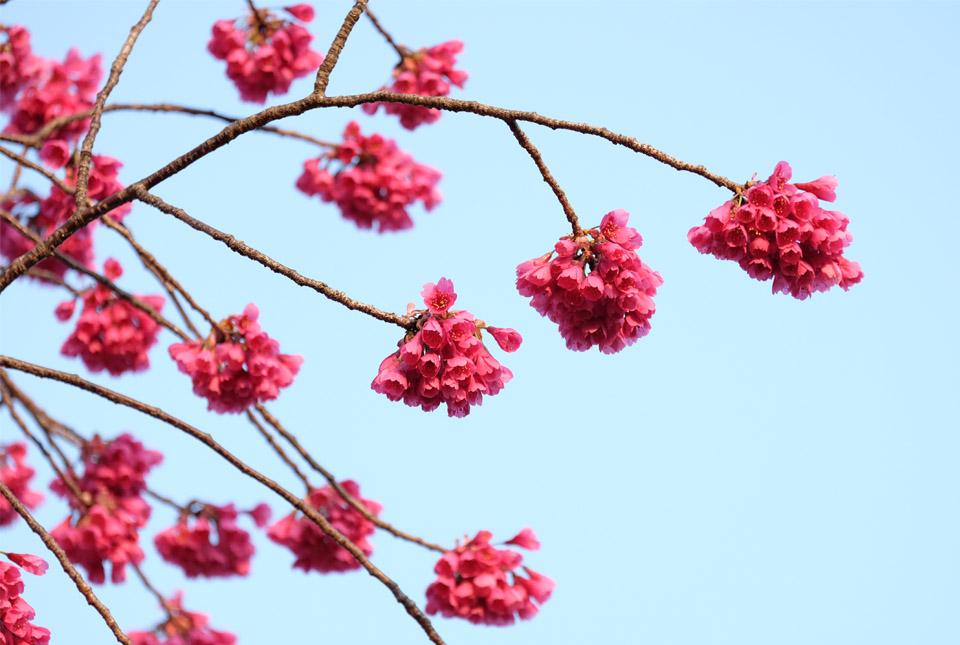 4655 ご近所の寒緋桜2 960×645