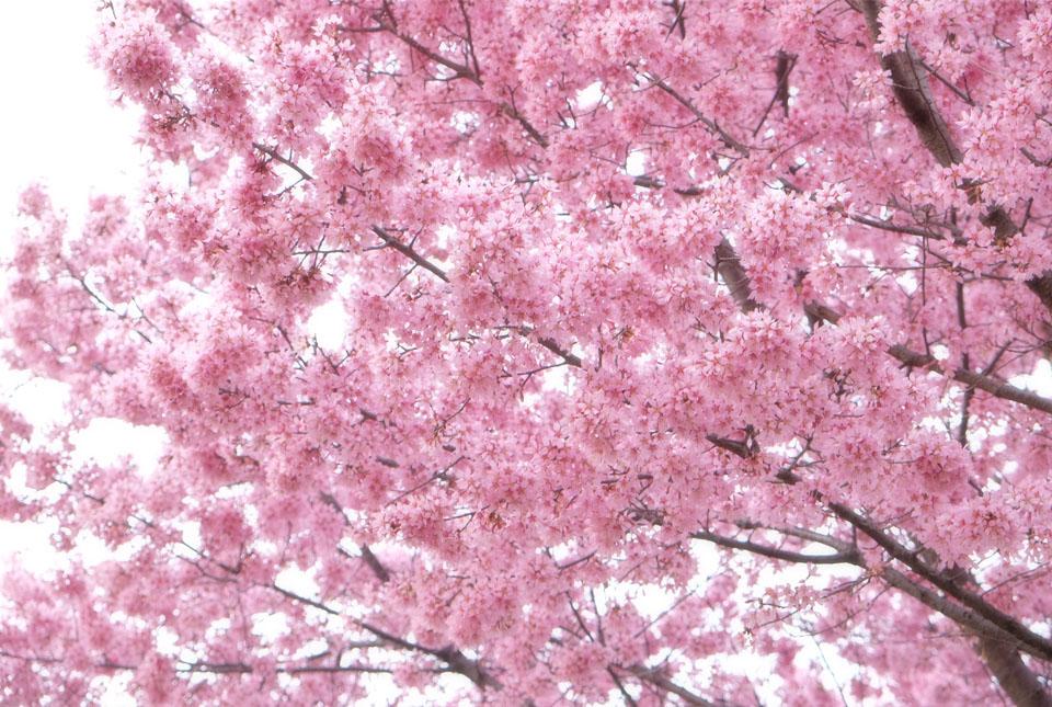 4425 ご近所の桜 960×645