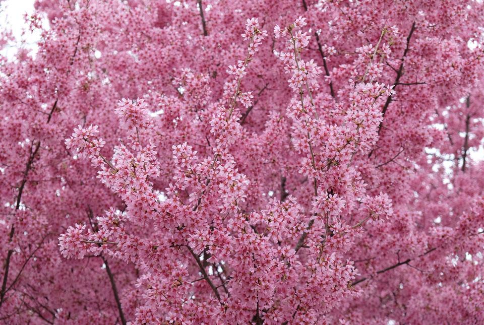 4537 ご近所の桜2 960×645