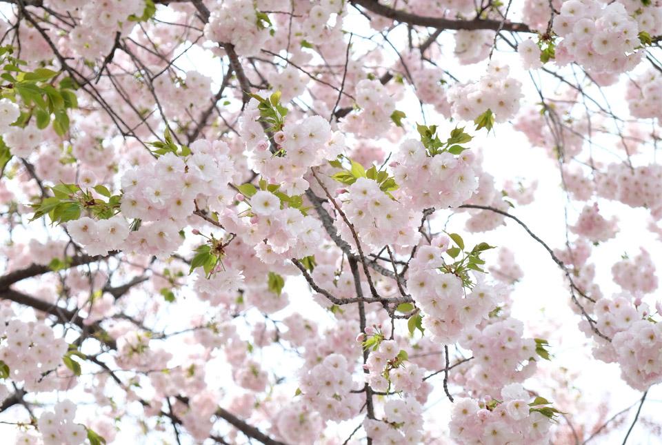 5772 八重桜 960×645