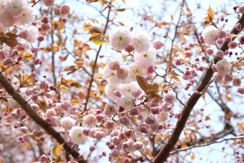 5787 八重桜 960×645