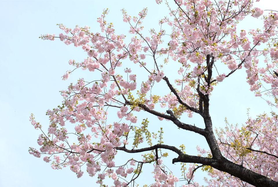 5793 八重桜 960×645