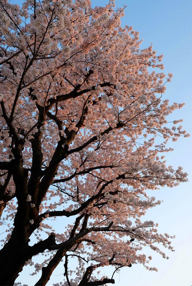 5248 夕日に染まる桜 645×960