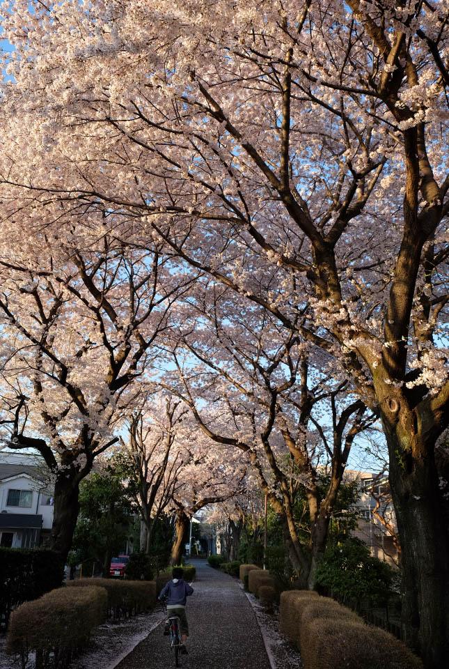 5168 緑道の桜 645×960