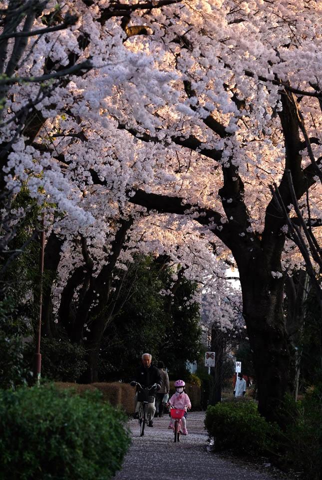 5227 緑道の桜 645×960