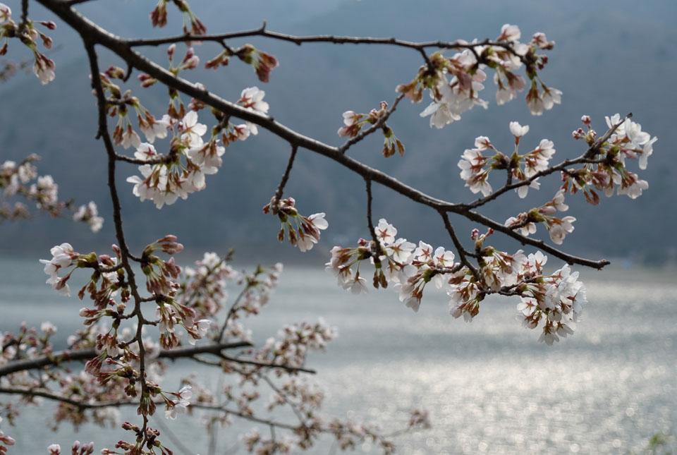 6041 精進湖と桜 960×645