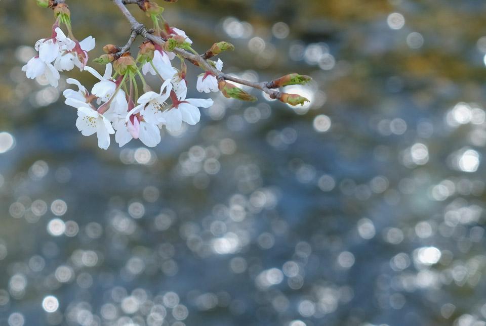 6264 清流と桜3 960×645