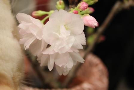 桜20150319-01