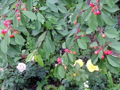 さくらんぼと薔薇
