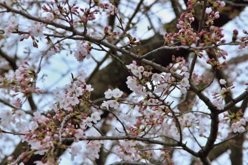 日永駅の桜