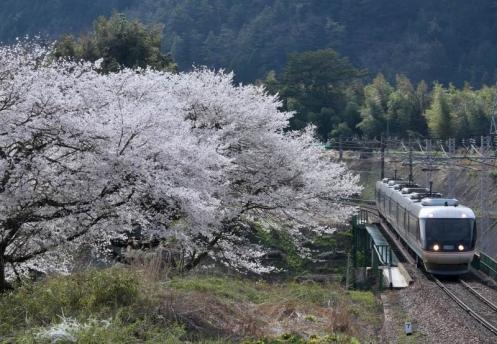 伊奈川の桜としなの3