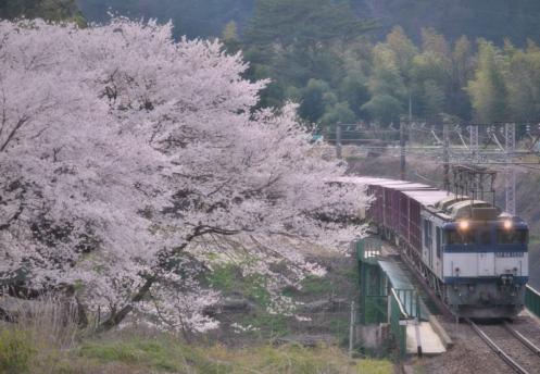伊奈川の桜とロクヨン