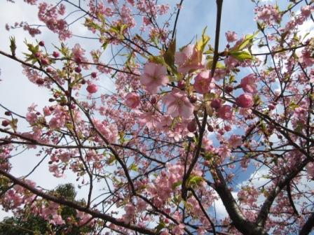 IMG_1303河津桜
