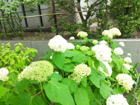 DSC_348815・6紫陽花