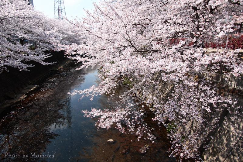 20150404sakura12.jpg