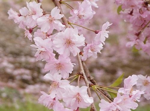 幸田しだれ桜まつり