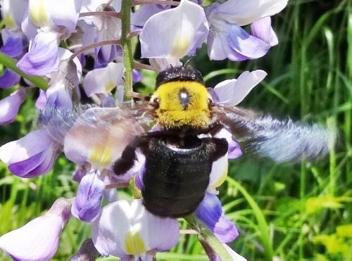 藤の花とクマンバチ