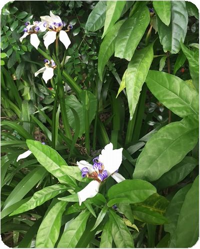 二叭子植物園アマリリス