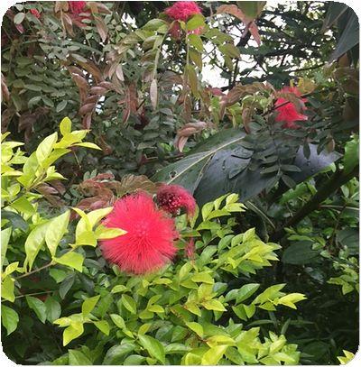 二叭子植物園赤綿