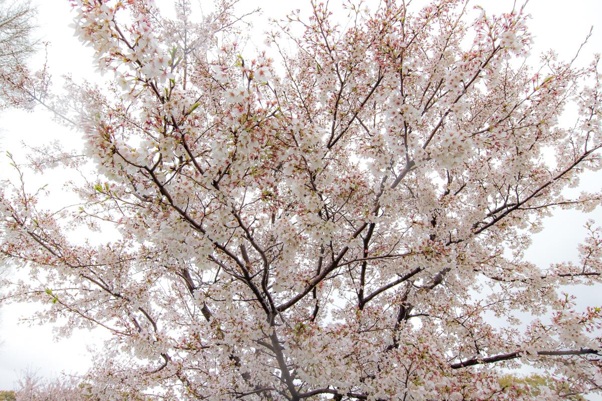 桜散策(7)