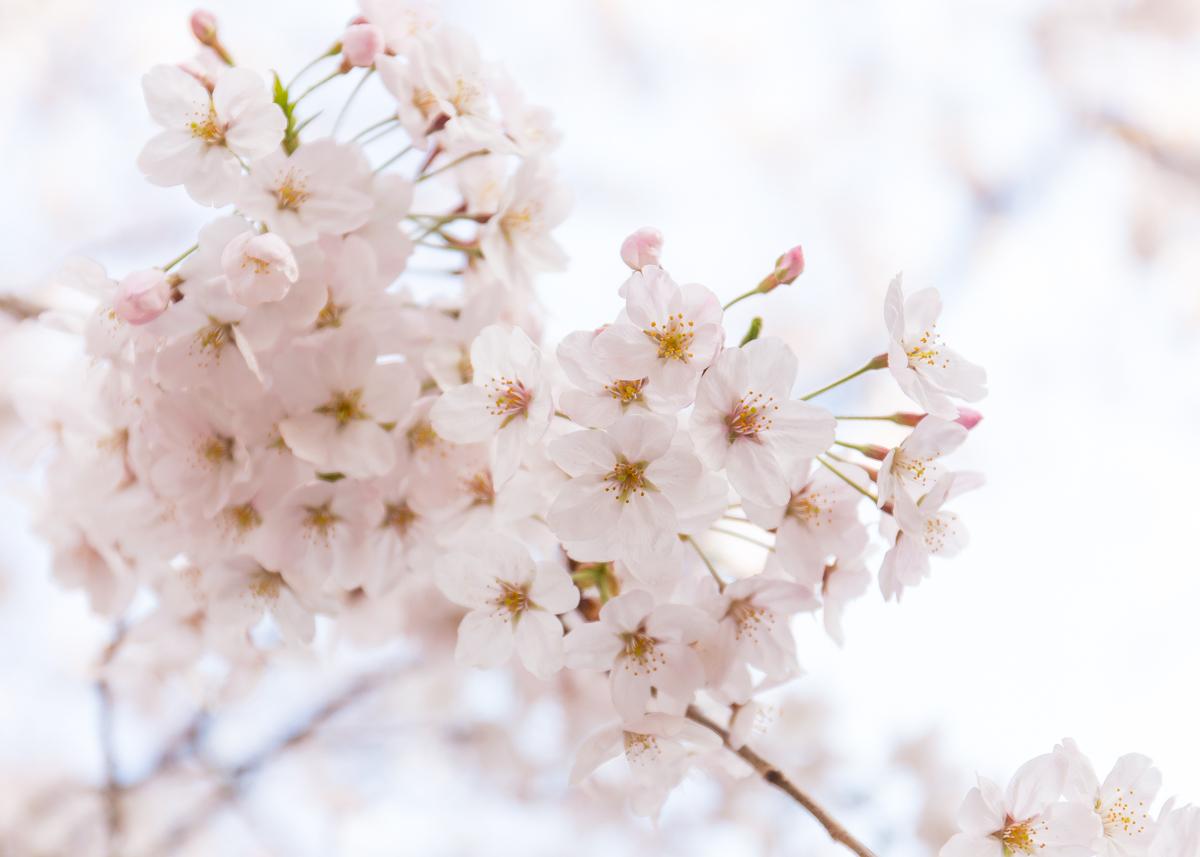 桜散策(1)