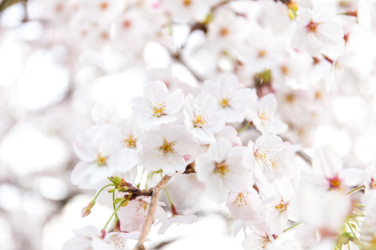 桜散策(4)