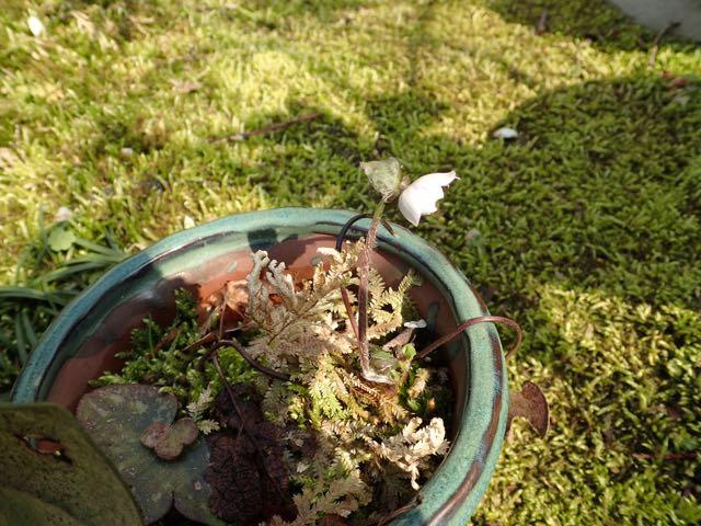 開花初日に虫に食われたミスミソウの花