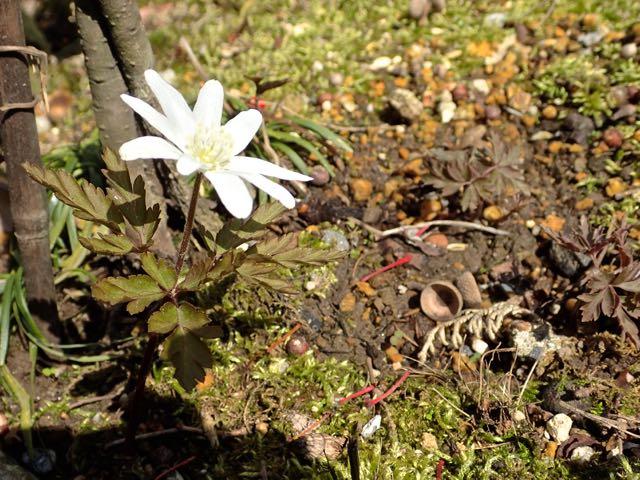 キクザキイチゲ開花